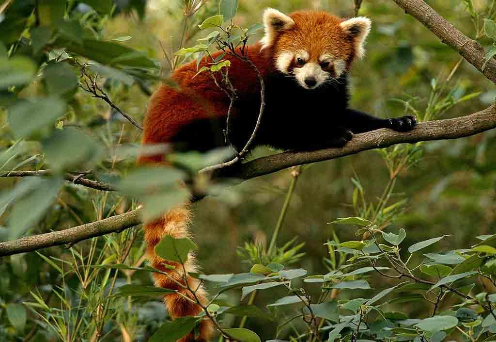 Crvena panda (Ailurus fulgens)